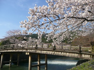 Cherry blossoms in Arashiyama in Kyoto