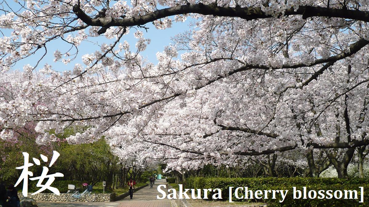 Sakura Cherry Blossom In Japan Let S Travel Around Japan