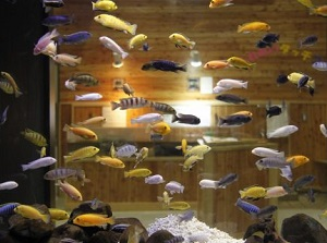 Tropical fish breeding in Onsen water