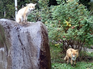 Ezo red foxes