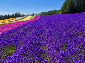 Lavender and colorful flowers in Furano