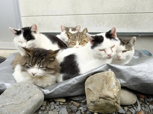 Cats in Tashirojima