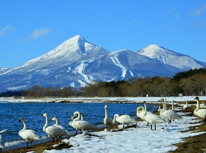 Swans in Lake Inawashiro