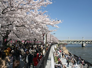 Cherry blossoms at Sumida Park