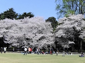 Cherry blossoms in spring in Shinjuku Gyoen