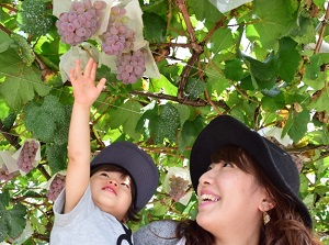 Grape picking in Katsunuma