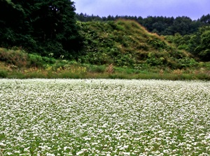 Buckwheat field in Kaida highland