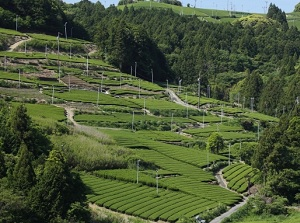 Tea farm in Makinohara