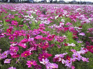 Cosmos in Nabana no Sato