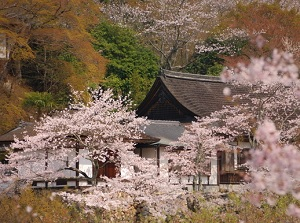 Hasedera in spring