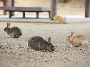 Rabbits in Okunoshima