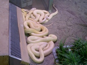 White snakes in Kikko Park
