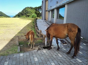 Ponies by Visitor Center in Cape Toi